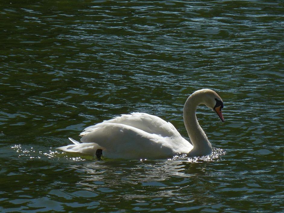 swan -r