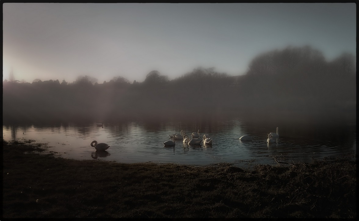 Swans in a field