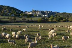 Sheep in the evening, La Penne, Alpes-Maritimes